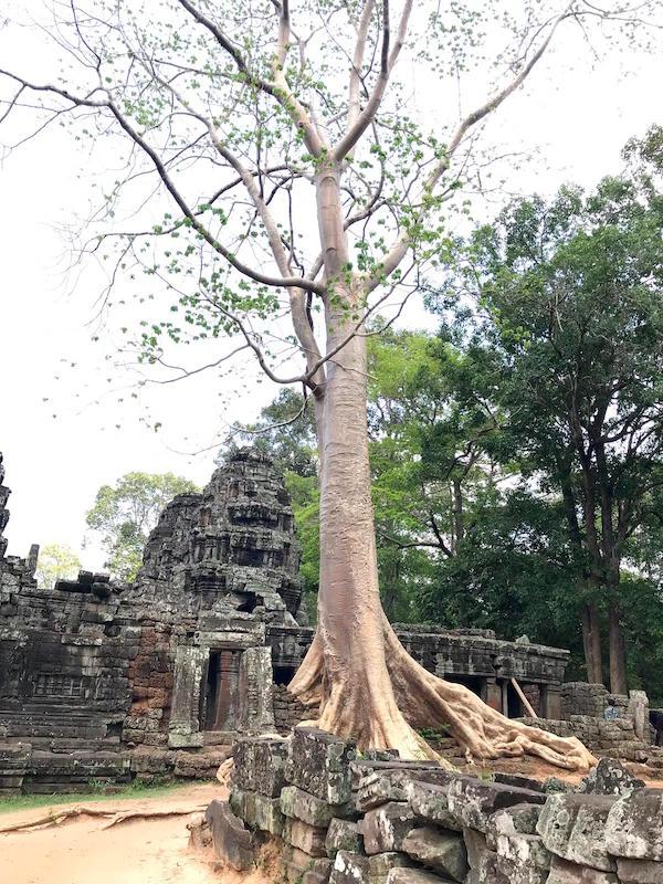 Prasat Banteay Kdei Tree
